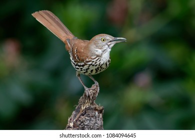 Brown Thrasher Perched on Stump
