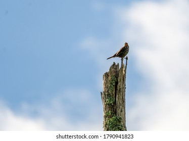A Brown Thrasher Perched on the Top of a Dead Tree.