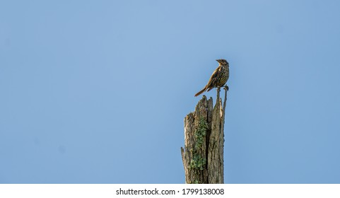A Brown Thrasher Perched on Top of a Dead Stump