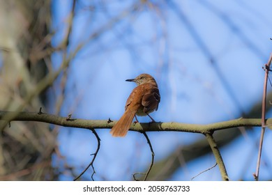 Brown Thrasher perched in a tree.