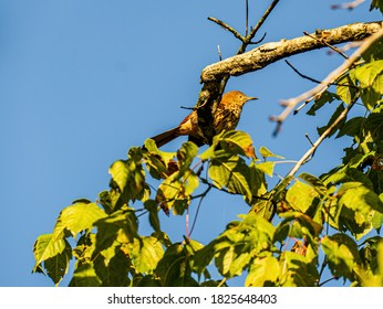 A Brown Thrasher Perched in a Tree is Partially Hidden by Leaves