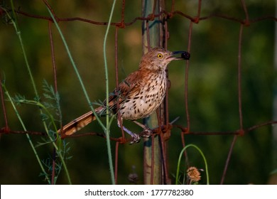 Brown thrasher sitting on old wire fence, carrying wild raspberry.