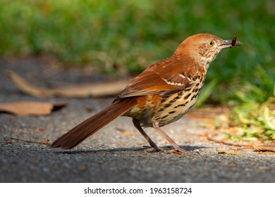 Brown thrasher standing on a sidewalk after catching a bug