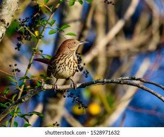Brown Thrasher -Toxostoma rufum, perched on shrub with berrys