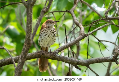 Brown Thrasher (Toxostoma rufum) perched in tree