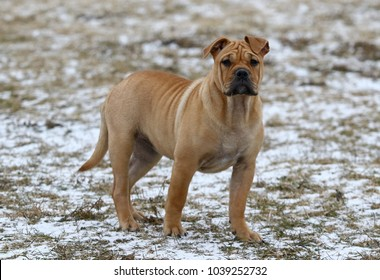 Brown three months old Ca de Bou (Mallorquin Mastiff) female puppy dog playing outdoors