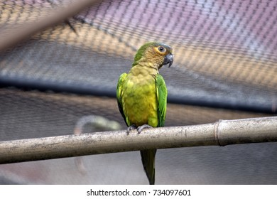 the brown throated conure is in an  avairy