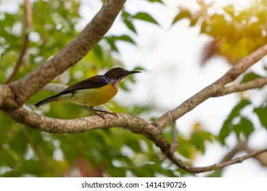 Brown throated sunbird male with colorful feather perching on branch of indian cork tree with natural blurred  background,low angle view.Close up of mature sunbird,side view.