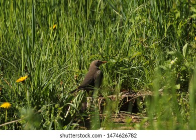 Brown thrush on the riverbank