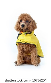 Brown toy poodle in classic grooming wearing yellow rain coat