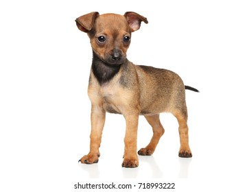 Brown Toy Terrier puppy in stand on white background