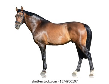 The brown trakehner sport horse   standing isolated on white background. Side view