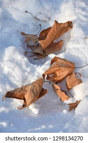 Brown tree leaves in the snow