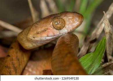 Brown Tree Snake (Boiga irregularis)