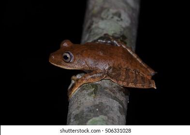 Brown treefrog