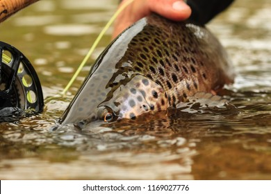 A Brown Trout Being Released On The Snake River