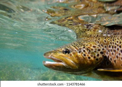 brown trout breathing.