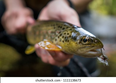 Brown trout with fly (Klinkhammer) hooked in jaw