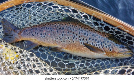 Brown trout in the landing net