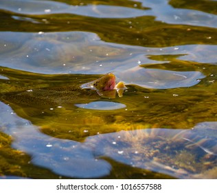 Brown Trout rising to a May Fly on Utah's Green River.