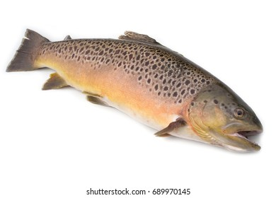 Brown trout Salmo trutta (5.2lbs or 2.35kg) isolated on a white studio background.