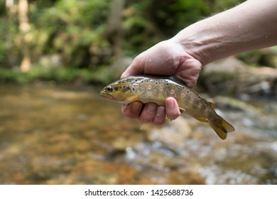 Brown trout (Salmo Trutta Fario) with wonderful pattern with red dots and yellow belly caught while fly fishing in a small creek high in the Swiss Alps on the dry fly. Concept: sustainability, hunter