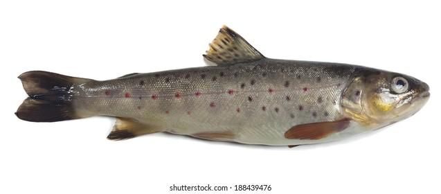 Brown trout, Salmo trutta fario isolated on white background