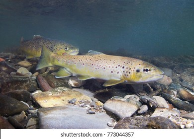 Brown trout (Salmo trutta) preparing for spawning in small creek. Beautiful salmonid fish in close up photo. Underwater photography in wild nature. Mountain creek habitat.