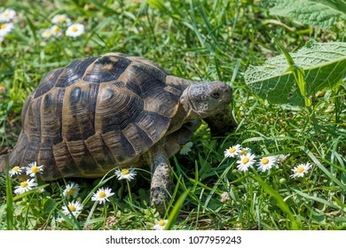 Brown turtle running through sunlit green meadow with flowers