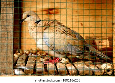 brown turtledoves in a cage with bars