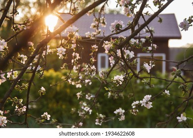 Brown village house seen through the branches of an apple tree with white flowers. Moldova. Village in the spring, blooming gardens. Evening sun rays at sunset