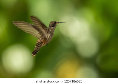Brown violetear (Colibri delphinae) hovering in the air, caribean tropical forest, Trinidad and Tobago, bird on colorful clear background,beautiful hummingbird in flight