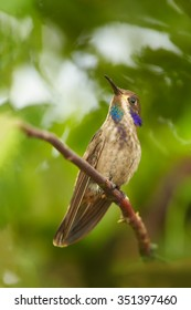 Brown Violet-ear Colibri delphinae perched on twig and showing its rainbow throat.  Blurred tropical yellow and green background. Ecuador.