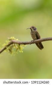 Brown Violetear Hummingbird - On a Perch