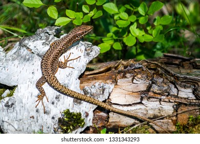 Brown Viviparous lizard (Zootoca vivipara) climbed on a white tree bark, camouflaged near the tree's brown root and green leaves. Close up/macro of this European common lizard.