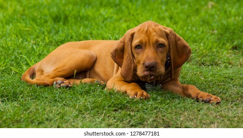 A brown vizsla puppy relaxing on the grass after playing outside.