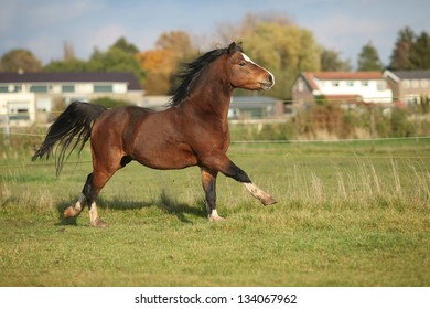 Brown welsh mountain pony stallion with black hair galloping in autumn