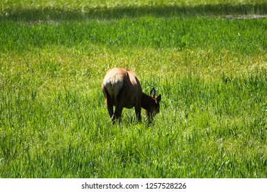Brown western female and young moose grazing on green grass and plants in the summer near lake in mountains, hot springs, and wilderness of Yellowstone National Park, Wyoming, Montana and Idaho.