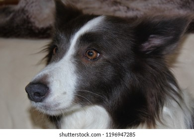Brown and white, adult, Border Collie bitch.