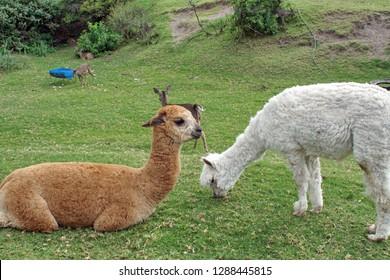 Brown and white alpacas at a deer park outside Cotacachi, Ecuador