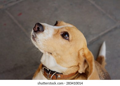 A brown and white beagle dog in the park