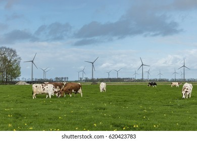 Brown White and Black Cows in the meadow grassland at Spring season by Urk Noordoostpolder Flevoland Netherlands April 2017