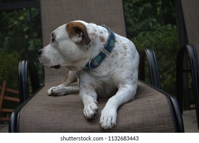 Brown, white and black dog lounging on a lawn chaise with head turned to the side showing attitude