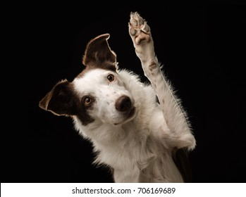 Brown and white Border Collie gives a wave, high five, or paw, to the camera with a black background in a studio