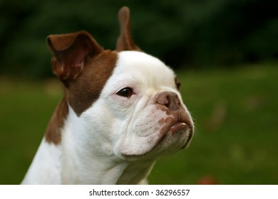 Brown and White Boston Terrier Dog Outside