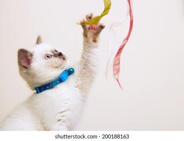 Fawn British Shorthair Kitten Alternative Names Stock Photo