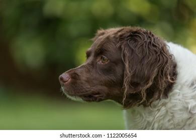 Brown and white Brittany  gun dog.