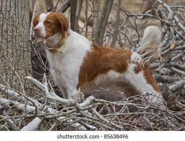 A brown and white Brittany Spaniel dog standing at attention in the woods.  This is a rare adult as it has its tail in tact.