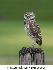 Brown and white burrowing owl with yellow eyes is standing guard on a rough wood pole against a blurred green background.