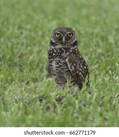 Brown and white burrowing owl with yellow eyes and beak staring forward in green grass.